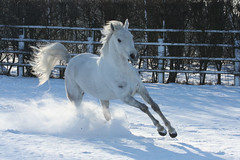 Playing in the snow (Thowra_uk) Tags: winter horse white snow playing beautiful fun happy freedom jumping movement action tail joy powder spray wonderland alert equine mane bouncing loh hooves galloping plauing