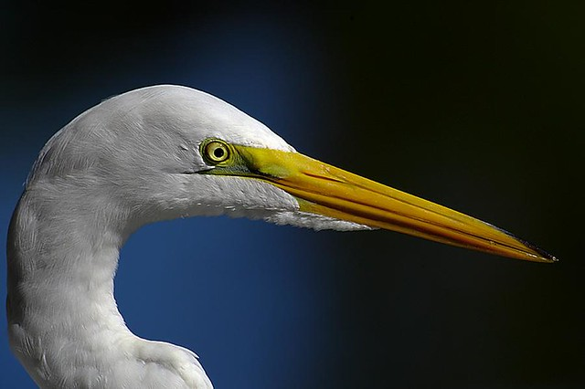 Great Egret Headshot