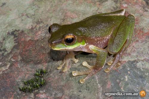 Cascade tree frog (Litoria pearsoniana)