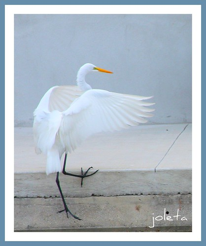 Great white egret hangin' in there