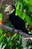 Wreathed hornbill (Peter Nijenhuis) Tags: bali indonesia 500d ef70300mmf456isusm wreathedhornbill tamanburungbalibirdpark rhyticerosundulatus peternijenhuis