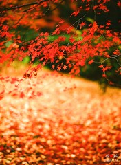 1124_kyoto_1011F (Shun Daddy) Tags: pentax 645 645nii japan kyoto autumn landscape scenary travel      nature   maple 2009  film hasselblad fe 110mm prime