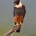Bat Falcon (Falco rufigularis) EXPLORED
