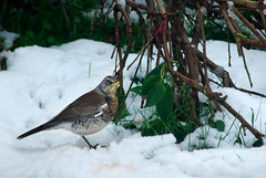 "2010_365013 - Fieldfare • <a style=""font-size:0.8em;"" href=""http://www.flickr.com/photos/84668659@N00/4271714245/"" target=""_blank"">View on Flickr</a>"
