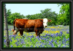 White Faced Heifer (feltonbeasley) Tags: ranch usa texas cattle bluebonnets washingtoncounty