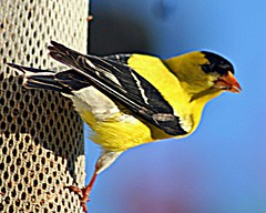 Finch on the Patio (lutzwendy) Tags: art wendys