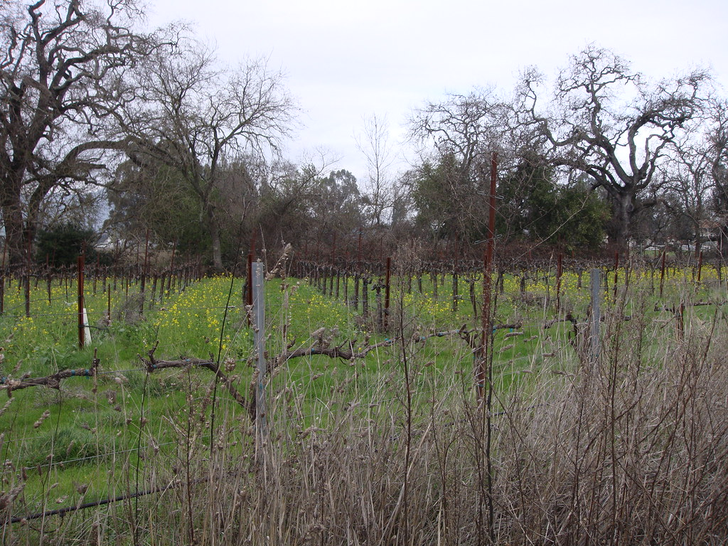 Vineyard with Mustard blooming