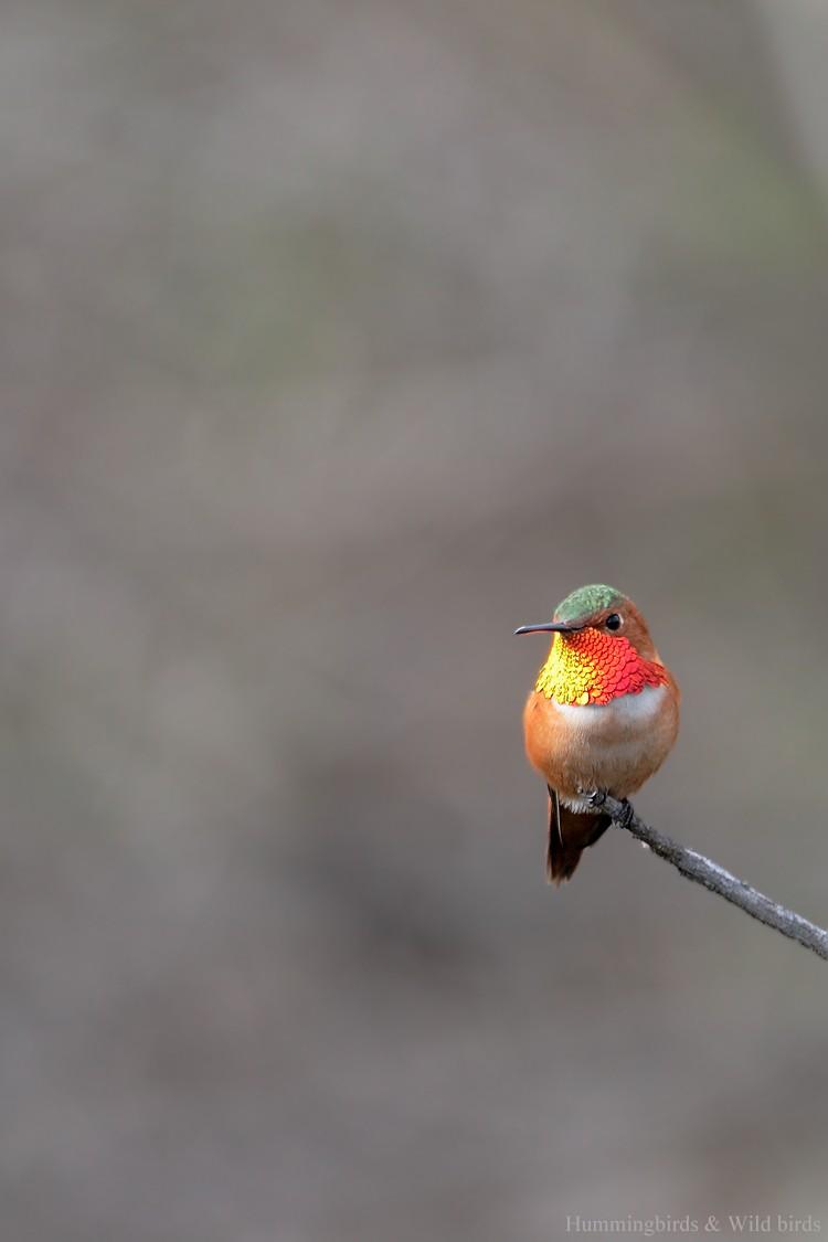 Allen's Hummingbird 01101-101