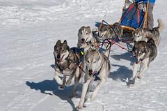 Kandersteg 2010 - 23 (Winithun - www.foto-erwin.ch) Tags: kandersteg berneroberland schlittenhunderennen schlittenhunderennenkandersteg