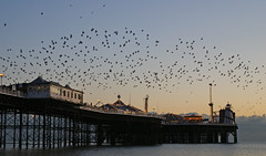 Murmuration over the pier
