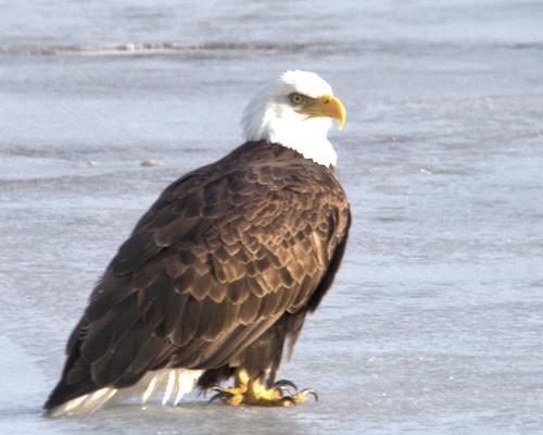 Bald Eagle 8x10IMG_7699