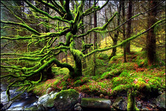 Mossy (angus clyne) Tags: trees mist tree green wet misty forest carpet moss oak branch floor drip plantation twig hanging larch tangle spruce hang mossy dripping thick ent verygreen thesecretlifeoftrees