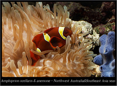 amphiprion ocellaris_800_01 (Bruno Cortada) Tags: malawi marino mbunas cclidos sudafricanos tanganyica