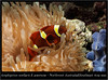 amphiprion ocellaris_800_01 (Bruno Cortada) Tags: malawi marino mbunas cíclidos sudafricanos tanganyica