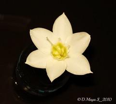 Single Amazon lily... (meet__maya) Tags: plant indonesia whiteflower petals nikon tropical amazonlily banten eucharisgrandiflora yellowcentred
