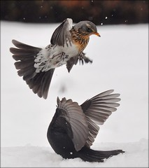 It's all about food (powerfocusfotografie) Tags: winter food snow birds dof bokeh wildlife explore telephoto turdusmerula blackbird turduspilaris henk merel fieldfare kramsvogel nikond90 powerfocusfotografie