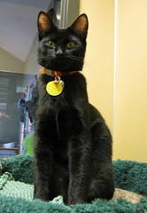 Wolverine, a Shiny Young Boy Black Cat (Pixel Packing Mama) Tags: 510fav lovely1 bcb heartlandhumanesociety pixelpackingmama furryfridaypool blackcatspool dorothydelinaporter oyt views25pool montanathecat~fanclub 25views50pool reallyunlimited montanathecat~fanclubpool theoneblackcatpool favorites5pool ceruleanthecat~fanclub ceruleanthecat~fanclubpool 2550viewspostupto5perdaypool allcatsallowedpool blackanimalspool furrycatfriendspool blackcatspathpool furryfuncutefunnyanimalspool maskedblackcatspool views2650pool monochromepetspool furrificcatspool watchfor51 photosfrom20002010pool pixuploadedfirsthalfof2010set pixtakeninfirsthalfof2010set picturestakenwithcanonpowershota2000isin2010set catskittensstartingjanuary12010set obsessivephotography30perdaypool 5favoritesin23views wolverineashinyyoungboyblackcat pixelpackingmama~prayforkyronhorman oversixmillionaggregateviews over430000photostreamviews