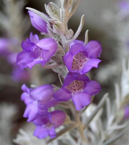 Silky eremophila