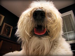 """""""Mr. Big Nose"""" (milikin) Tags: dog nose terrier wheaten thelittledoglaughed"""