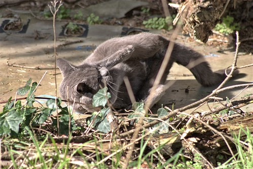 Gray Cat at Play
