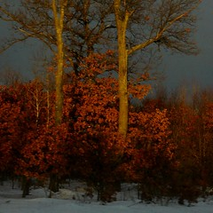 Winter Light (lefeber) Tags: trees winter snow field leaves wisconsin rural branches cloudysky eveninglight
