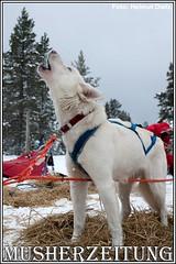 Femundlopet: Checkpoint Sörvollen Howling Husky