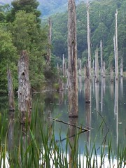 Dead trees at Lake Elizabeth 2, Great Otway Na...