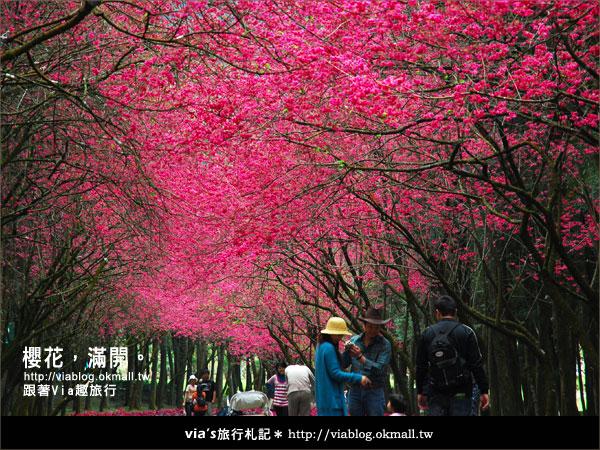 【九族櫻花季】櫻花滿開!最浪漫的九族文化村櫻花季36