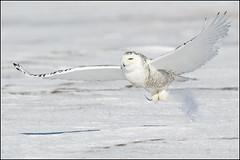 Owl (Snowy) - 1164 (Earl Reinink) Tags: flight raptor snowyowl snowyowlinflight earlreinink wwwearlreininkcom wwwipaintca