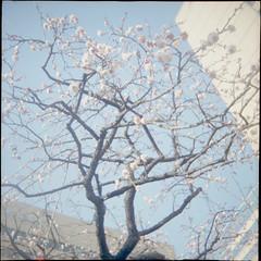 Energy Charge (TOKIO City Photos) Tags: italy 120 6x6 rose japan tokyo spring fuji kodak toycamera plum moma lovers footsteps dianaf edition portra eura 400h 400vc ferrania