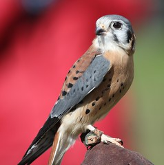 American Kestrel (San Diego Shooter) Tags: wallpaper bird birds sandiego hawk falcon ramona hawkwatch falcons desktopwallpaper americankestrel kestrel birdofprey haws falcosparverius sandiegodesktopwallpaper hawkwatch2010