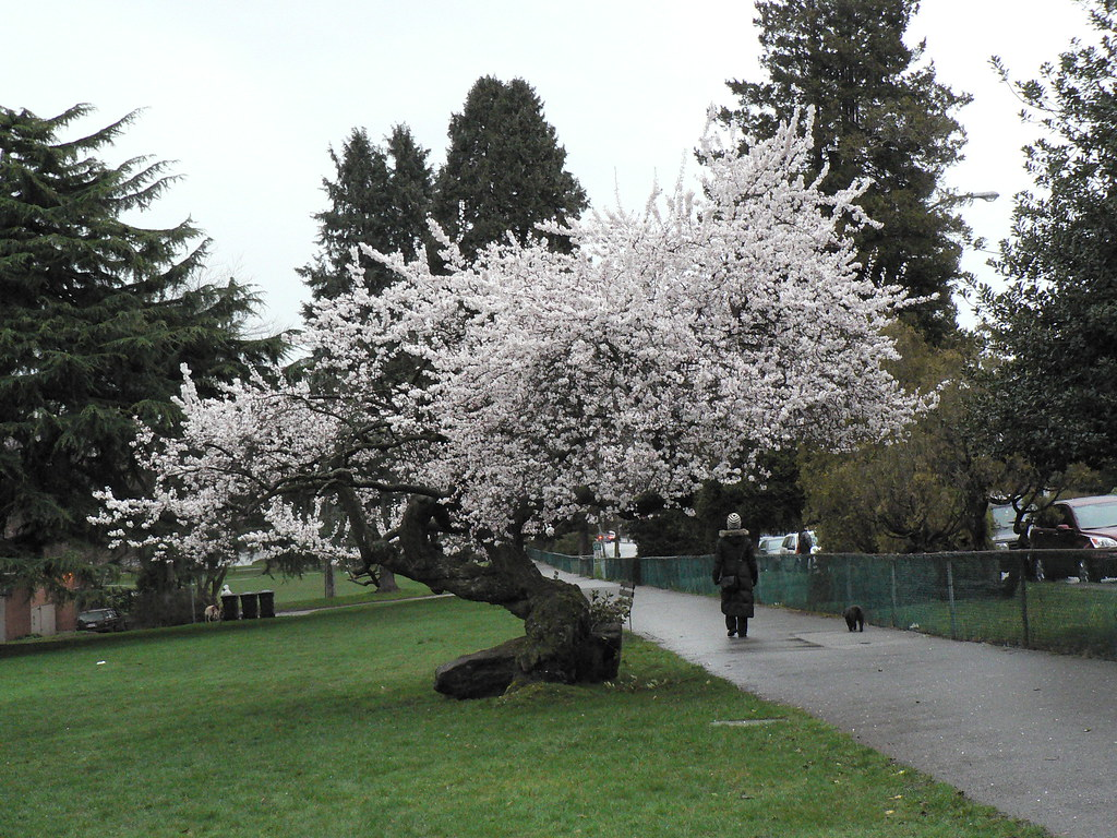 Tree in Full Bloom. February 13, 2010