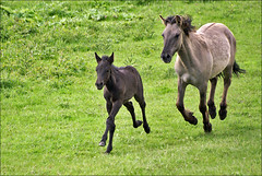 Konik Horses (Mare and Foal) (Foto Martien (thanks for over 2.000.000 views)) Tags: holland netherlands dutch arnhem flock nederland naturereserve rhine herd rijn a100 uiterwaarden tarpan gelderland meinerswijk betuwe oostvaardersplassen konik floodplain natuurgebied natuurreservaat kudde sigmaapomacro70300 smallhorse arnhemzuid sonyalpha100 natureselegantshots konikpolski martienuiterweerd polishprimitivehorse martienarnhem mygearandme mygearandmepremium martienholland mygearandmebronze mygearandmesilver mygearandmegold mygearandpremium mygearandmeplatinum mygearandmediamond semiwildpony kleinpaard halfwildepony europesewildepaard zuidelijkarnhem europeanwildhorse ringexcellence fotomartien