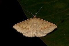 Unidentified Looper Moth (Andy Burton Oz) Tags: fauna moth sydney australia lepidoptera nsw geometridae animalia arthropoda invertebrate willoughby insecta artarmon hexapoda pterygota neoptera endopterygota afsvrmicronikkor105mmf28gifed nikond40 geometroidea artarmonreserve aperture214