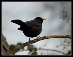 Blackbird on a branch (Levels Nature) Tags: uk bird eye nature branch bokeh beak somerset blackbird westonzoyland abigfave