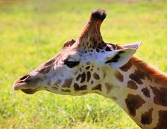 Kissy, kissy..... (vermillion$baby) Tags: brown ears giraffe green horns white pattern zoo animal animals closeup portrait animalportrait inthewild africa portait eye