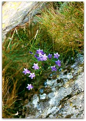 Delicate bells between rocks (CameliaTWU) Tags: bells rocks romania delicate campanulaceae campanula lichens bucegi monocots dicots alpinegrass rocklichens napuligera