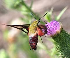 Bee Mimic (DrPhotoMoto) Tags: thistle northcarolina hummingbirdmoth richmondcounty hemaristhysbe beemimic clearwing macrolife