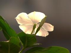 Sunlight and white vinca