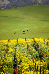 Spring in Carneros (Jeffrey Sullivan) Tags: california flowers copyright usa canon landscape photo vineyard spring sonoma mustard sonomacounty february allrightsreserved 2010 blooming carneros jeffsullivan