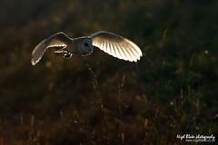 Barn Owl Tyto alba in flight hunting (Nigel Blake, 14 MILLION...Yay! Many thanks!) Tags: bird history birds barn canon photography natural alba wildlife owl blake nigel owls tyto tytonidae eos1dsmkiii 600mmf4is