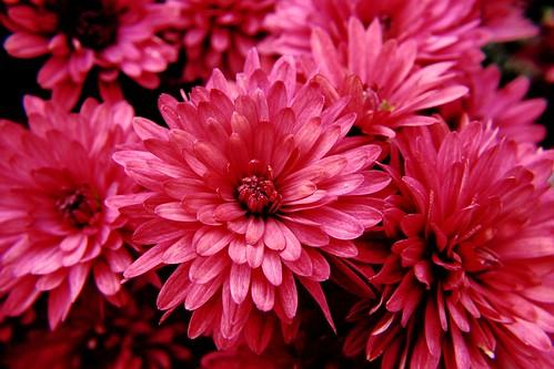フリー画像| 花/フラワー| ピンク/花| 桃色/ピンク|        フリー素材|