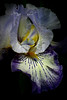 An Iris in shadow for David who secretly adores flowers but thinks himself way to manly to admit it. (alan shapiro photography) Tags: iris flower shadows darkness blossom bloom flowering alanshapiro masterphotos momentsoftruth ashapiro515 magicunicornverybest ©2010alanshapiro alanshapirophotography wwwalanwshapiroblogspotcom ©2010alanshapirophotography
