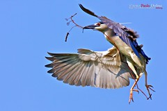 Black-crowned Night Heron (Nycticorax nycticorax) (alabang) Tags: heron night clear blackcrownednightheron nycticoraxnycticorax blackcrowned nycticorax canonextenderef14xii canonef300mmf28lisusm extenderef14xii canonefextender14xii ef300mmf28lisusm ef300mmf28lisusm14x canonef300mmf28lisusm14x