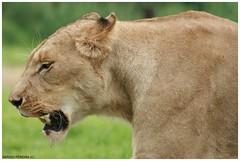 Lion - South Africa (sergio.pereira.gonzalez) Tags: africa southafrica lion leon krugernationalpark sud leona afriquedusud lionne canon400d sergiopereiragonzalez
