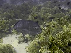 Giant Trevally (Caranx ignobilis) (FRosselot) Tags: redsea scubadiving buceo marrojo