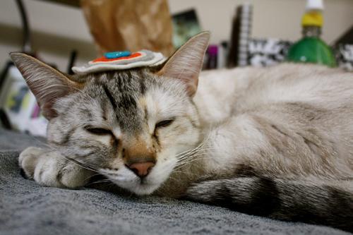 Maestro Cat