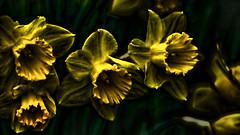 Really? Daffodils? (©Delos Johnson) Tags: flowers yellow deranged daffodils duh topaz delos adjust denoise