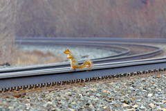 'Squirrely R. Railfan' says - Stop, Look & Listen before Crossing Tracks! (p.csizmadia) Tags: railroad morning ohio cute squirrel tracks rail antics railfan vermilion squirrely csizmadia stoplooklisten ontracks pcsizmadia