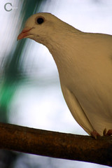 Peace (Srujan Chennupati) Tags: cars buses birds sunrise pigeon dove caged trucks lovebirds chennai parakeets nighttraffic dhabba crocodilepark nationalhighway